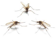 Le bal des moustiques